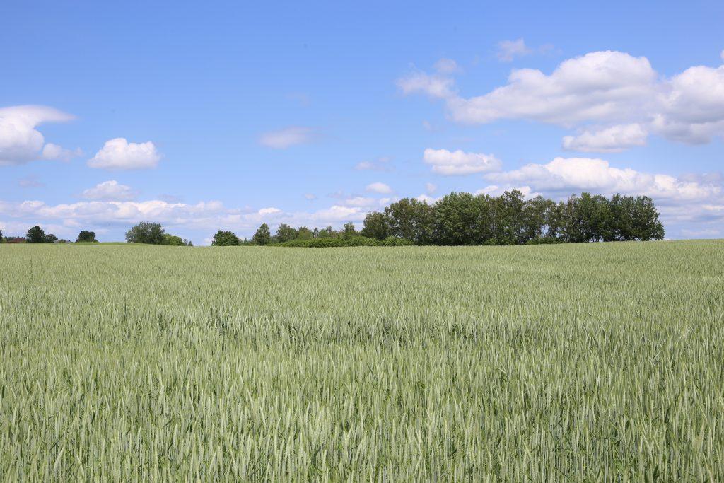 Getreidefeld im Grenzbereich