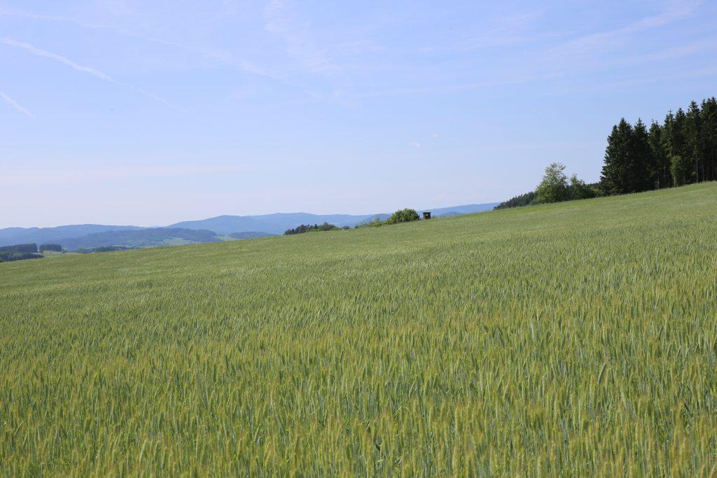 Getreidefeld in Zulissen/Gem. Rainbach